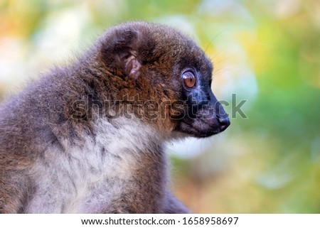 Red bellied lemur in natural habitat #1658958697