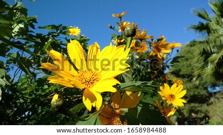 A beautiful yellow flowers in a garden in Algeria. a beautiful yellow flowers species to have in your garden through all the seasons.