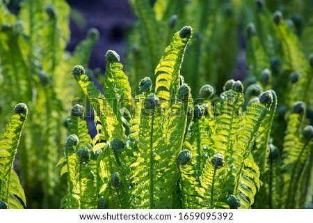Young fern plants in nature. Spiral shape on young green plants in forest. #1659095392