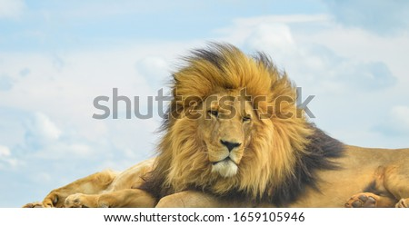 Closeup of a majestic young brown lion during a South African Safari in a nature reserve