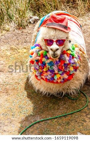llama with dark shades in Peru, funny llama with clothes and hat, Cool llama, llama with costume. Cute llamas from Peru,beautiful llamas south america Peru. #1659119098