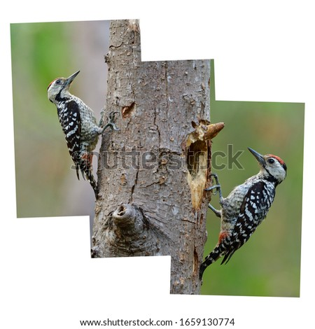 Seamless of sttitching black and white camouflage bird with red head on tree in nature in illustration style #1659130774