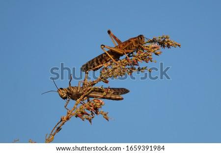 Locusts feeding on desert plants #1659391984