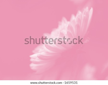White daisy flower, side view of the petals, soft image on pink background. #1659531