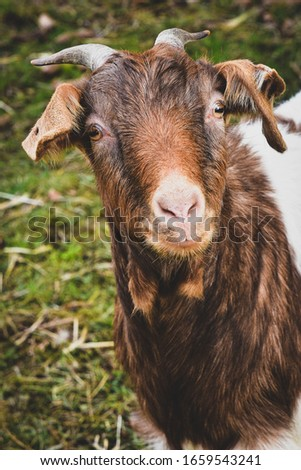 funny Goat looking to the Camera