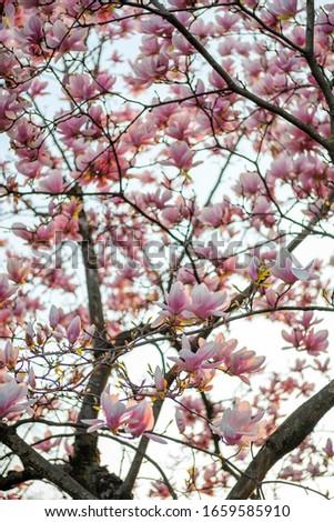 Blooming magnolia tree at sunset light. Blooming magnolia branches at sunset light. Pink magnolia tree. Magnolia tree background.