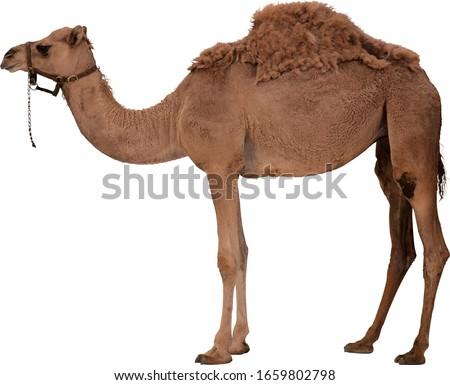 large camel on a white background Royalty-Free Stock Photo #1659802798