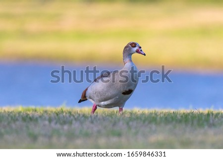 The Egyptian goose is a member of the duck, goose, and swan family.