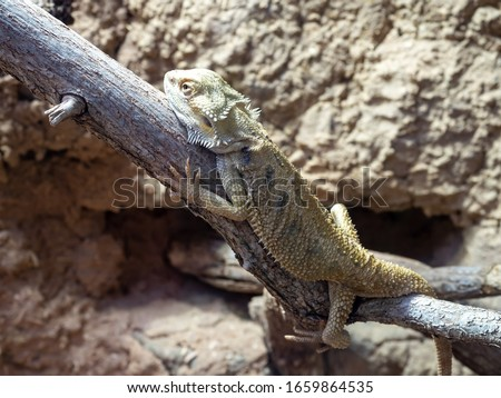 Pogona vitticeps, the central bearded dragon, is a species of agamid lizard occurring in a wide range of arid to semiarid regions of Australia. #1659864535