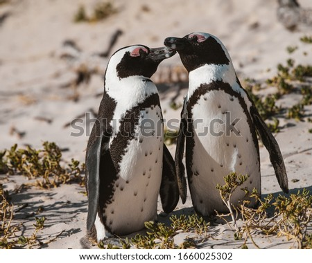These pictures were taken at the penguin colony located in Simon's Town near Capetown. These are 3 of the about 3000 penguins living in the colony.