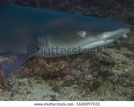 Closeup with White Tip shark during a leisure dive  in Sipadan Island, Semporna, Sabah. Malaysia, Borneo. The Land Below The Wind.