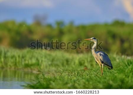 Grey Heron - Ardea cinerea, large common gray heron from lakes and rivers, Hortobagy, Hungary. #1660228213