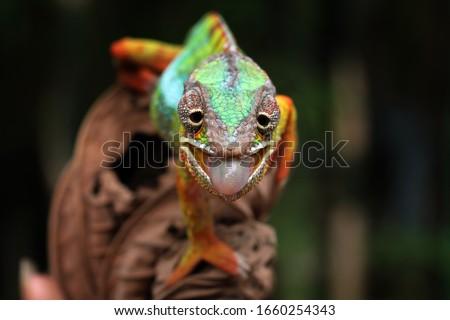 Beautiful of chameleon panther, chameleon panther on branch, chameleon panther closeup, Chameleon panther closeup #1660254343