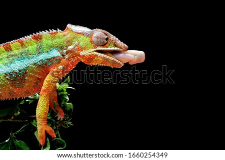 Beautiful of chameleon panther, chameleon panther on branch, chameleon panther catching insect, Chameleon panther on branch with black backround, #1660254349