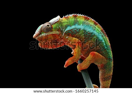 Beautiful of chameleon panther, chameleon panther on branch, chameleon panther closeup, Chameleon panther on branch with black backround, #1660257145