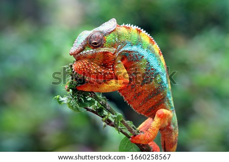 Beautiful of chameleon panther, chameleon panther on branch, chameleon panther climbing on branch, Chameleon panther closeup #1660258567