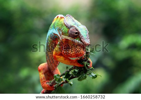 Beautiful of chameleon panther, chameleon panther on branch, chameleon panther climbing on branch, Chameleon panther closeup #1660258732