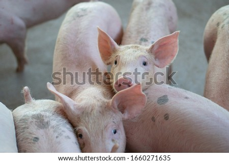 Group of pig that looks healthy in local ASEAN pig farm at livestock. The concept of standardized and clean farming without local diseases or conditions that affect pig growth or fecundity #1660271635