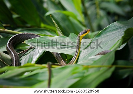 Closeup of vine snake, or Cobra Cipo in Portuguese, on white ginger lily foliage #1660328968