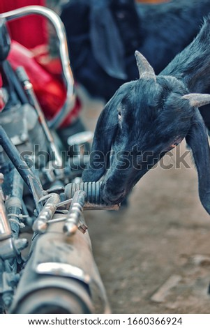 beautiful Goat and bike,The goat is trying to eat the bike.