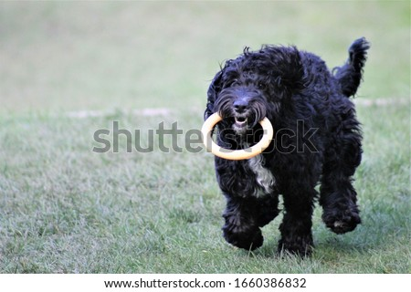 Black cockapoo puppy playing with ring toy #1660386832