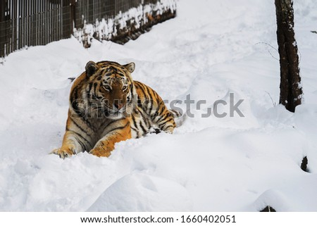 Amur tiger lies in the snow in a nature park on a winter day. Protection of animal.  #1660402051