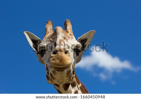 Portrait of a giraffe against a blue sky with singular white cloud