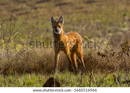 Maned Wolf / Lobo Guara. It is the largest canid in South America, with a weight between 20 and 30 kg, and reaches up to 90 cm at the withers.  #1660516966