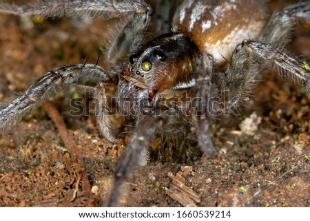 Wolf Spider of the species Allocosa paraguayensis #1660539214