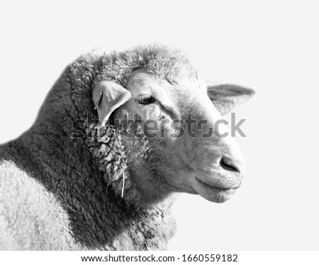 Black and white close up sheep portrait. Cute Easter lamb, spring symbolism on a simple white background. Cute farm animal monochrome minimalist studio photo #1660559182