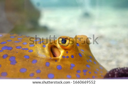 A closeup picture of a blue spotted yellow stingray swimming at the bottom of an ocean floor with clear sea water and white sand.