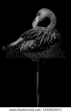 Black white portrait of a flamingo that rests on one leg. Royalty-Free Stock Photo #1660826611