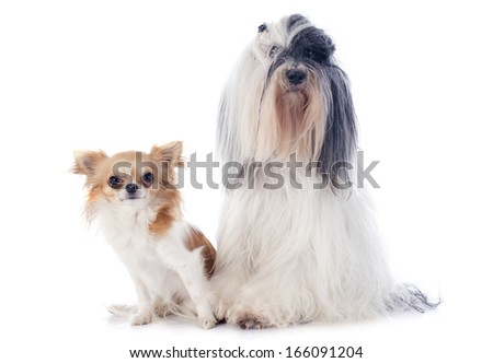 tibetan terrier and chihuahua in front of white background #166091204