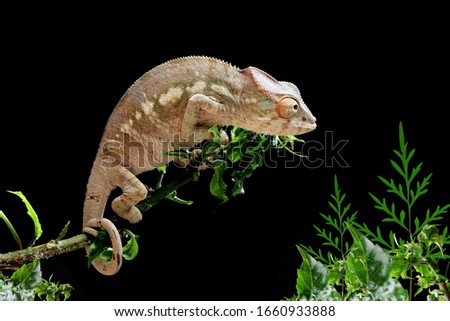 Beautiful young chameleon panther, chameleon panther on branch, chameleon panther closeup, Chameleon panther on branch with black backround, #1660933888