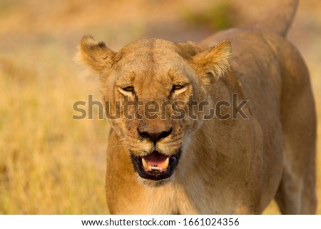 African Lion (Panthera Leo), female. Savuti, Chobe National Park, Botswana.