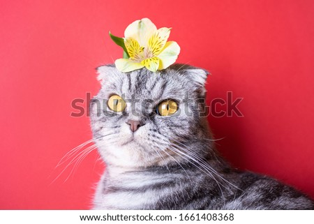 Funny gray scottish fold cat with yellow eyes on a red background. On the head of the cat is a yellow small flower. The concept of spring, holiday, as well as popular allergens. Cute picture of a pet.