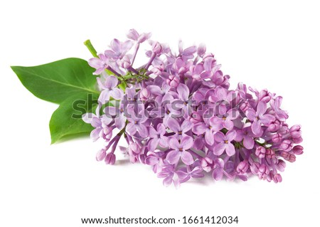 Lilac flowers closeup isolated on white background, closeup Royalty-Free Stock Photo #1661412034