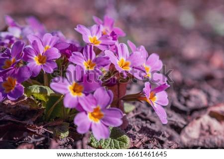 Perennial primrose or primula in the spring garden. Spring primroses flowers, primula polyanthus. Purple primroses in spring woods. Primroses in spring. The beautiful colors primrose flowers garden. #1661461645