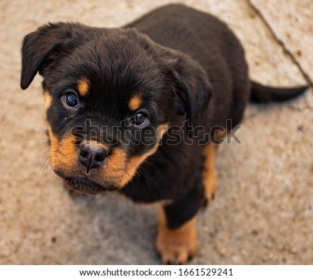 Little rottweiler, sad or angry #1661529241