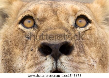 African Lion (Panthera Leo), close up.  Savuti, Chobe National Park, Botswana.