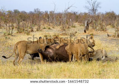 Group of  Lions (Panthera Leo), eating a Cape Buffalo carcass (Syncerus caffer caffer) which was killed two nights before by the females of the pride. Savuti, Chobe National Park, Botswana.