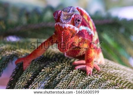 Chameleon furcifer pardalis ambilobe panther chameleon sitting on tree branch. Close up chameleon panther on nature background. #1661600599