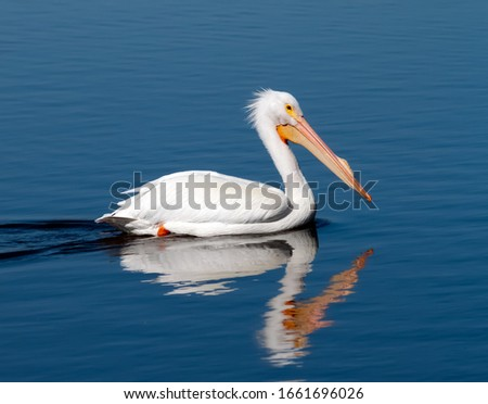 American white pelican closeup swimming with reflection in water #1661696026