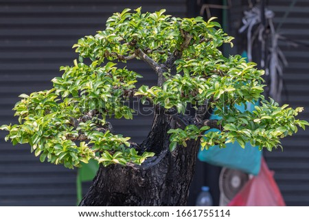 Bonsai Ebony element tree for decorate architect design in the garden.