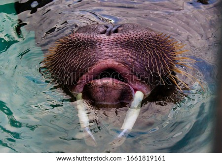 Walrus whiskers and tusks visible while swimming. Aggressive walruses hitting their puberty.