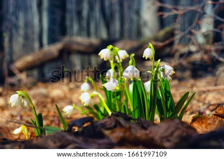 Early spring flowers Leucojum vernum in old brown dry leafs. Beautiful blooming of white snowflake flowers in spring forest #1661997109