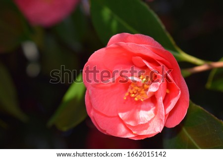 Closeup on foliage and pink flowers of common camellia (Camellia japonica) #1662015142