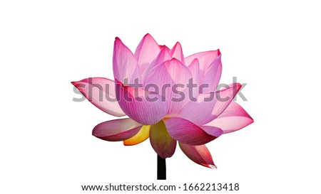 Pink Lotus flower isolated on white background with Clipping Paths.