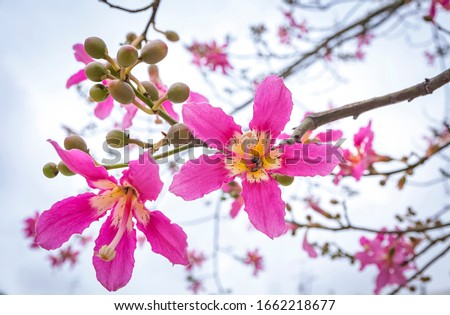 Close-up flowers of Silk floss tree (Ceiba speciosa). The flowers are from creamy-whitish to pink. They measure 4 to 6 inch in diameter and their shape is superficially similar to hibiscus flowers Royalty-Free Stock Photo #1662218677