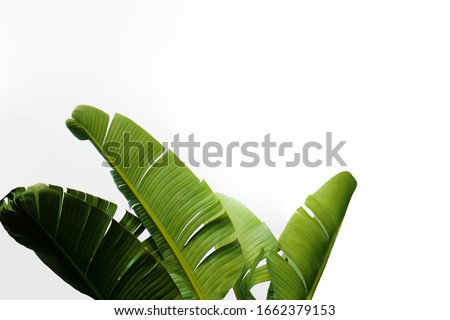 Group of big green banana leaves of exotic palm tree in sunshine on white background. Tropical plant foliage with visible texture. Pollution free symbol. Close up, copy space. #1662379153